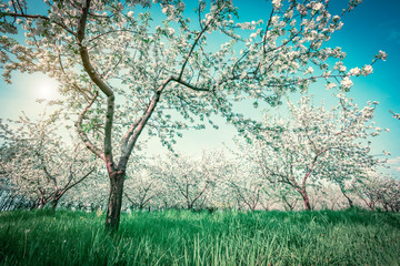 Wall Mural - Blossoming apple orchard in spring