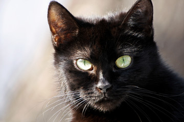 Black cat close up.