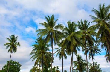Palm trees grove. Sunny day on exotic island in Asia. Coco palm tree leaf and crowns on blue sky background.