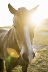 Portrait of brown horse on field during sunset