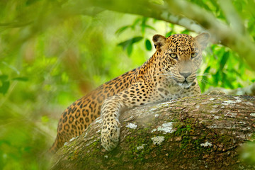 Leopard in green vegetation. Hidden Sri Lankan leopard, Panthera pardus kotiya, Big spotted wild cat lying on the tree in the nature habitat, Yala national park, Sri Lanka. Widlife scene from nature.