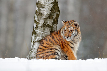 Amur tiger sitting in snow. Tiger in wild winter nature. Action wildlife scene with danger animal. Cold winter in tajga. Snowflake with beautiful background. Siberian tiger in snow fall, birch tree.