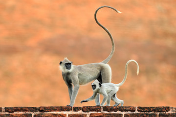 Mother and young running. Wildlife of Sri Lanka. Common Langur, Semnopithecus entellus, monkey on the orange brick building, nature habitat, Sri Lanka. Urban wildlife. Monkey with long tail.