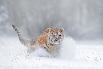 Flying tiger. Tiger in wild winter nature.  Amur tiger running in the snow. Action wildlife scene with danger animal. Cold winter in tajga, Russia. Snowflake with beautiful Siberian tiger.