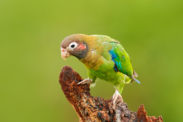 Brown-hooded Parrot, Pionopsitta haematotis, portrait light green parrot with brown head. Detail close-up portrait bird. Bird from Central America. Wildlife scene, tropic nature. Bird from Costa Rica.