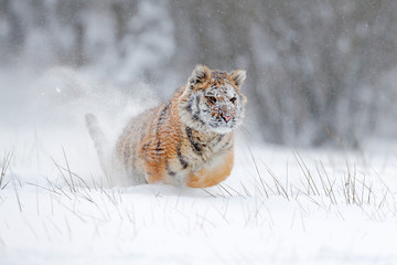 Amur tiger running in the snow. Action wildlife scene with danger animal. Cold winter in tajga, Russia. Snowflake with beautiful Siberian tiger, Panthera tigris altaica. Tiger in wild winter nature.