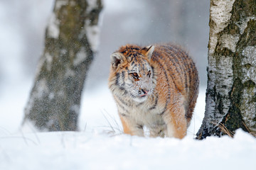 Siberian tiger in snow fall. Amur tiger running in the snow. Tiger in wild winter nature. Action wildlife scene with danger animal. Cold winter in tajga, Russia. Snowflake, snowy storm with cat.
