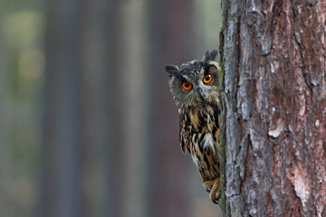 Eurasian Eagle Owl, Bubo bubo, hidden of tree trunk in the winter forest, portrait with big orange eyes, bird in the nature habitat, Norway