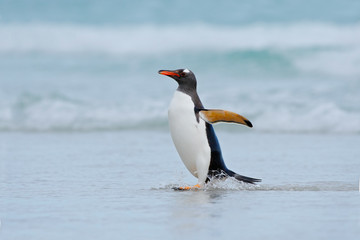 Gentoo penguin jumps out of the blue water while swimming through the ocean in Falkland Island