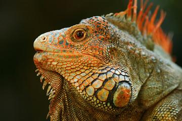 Portrait of orange iguana in the dark green forest, Costa Rica