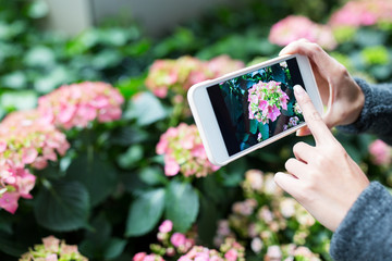 Woman using cellphone to take photo on Hydrangea at garden