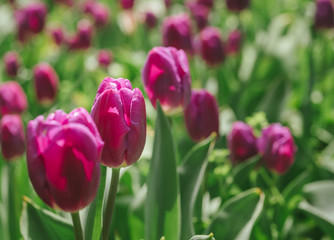 Flowerbed of sunlit tulips. Card for Mothers day