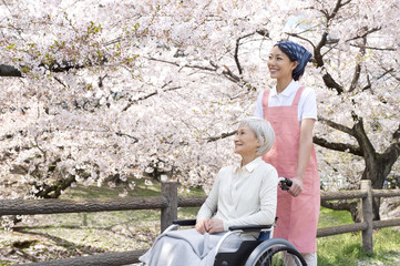 Wheel chaired patient and nursing helper looking at cherry blossoms