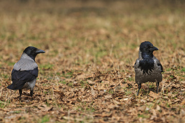 pair of hooded crows are among fallen leaves