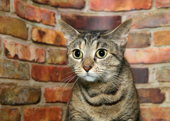 Portrait of one brown and black tabby cat nervously looking to viewers left. Brick wall background.