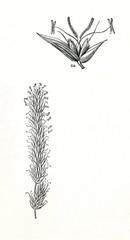 Sweet vernal grass (Anthoxanthum odoratum) (from Meyers Lexikon, 1895, 7/876/877)