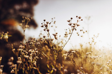 beautiful daisy flowers blooming in evening sunlight in summer time in grassland. wildflowers in countryside sunset. amazing warm photo, atmospheric moment with chamomile