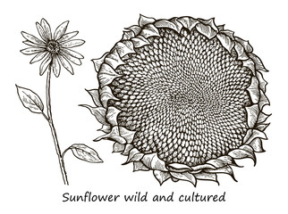 Botanical detailed illustration of a flower of wild and cultivated sunflower
