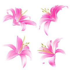 Spring flowers Lily pink Daylily vector illustration