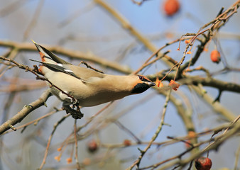 Waxwing eating the frozen apples in the Park