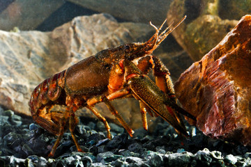 Eastern crayfish, orconectes limosus in the pond