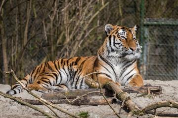 Tiger -  Panthera tigris