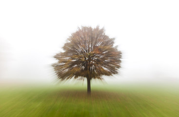 Wall Mural - Tree in Mist or Fog