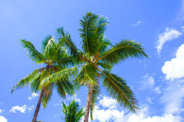 Tropical landscape. Bottom view of the palm trees on background of bright blue sky