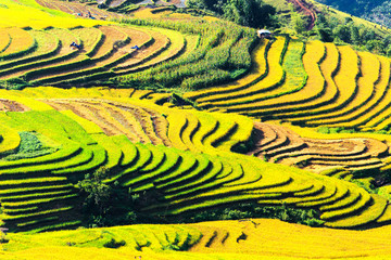 Photo sur Aluminium Jaune Terraced rice fields in Vietnam
