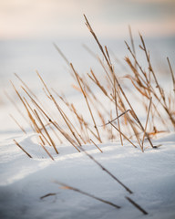Close-up of dry grass in snowy field
