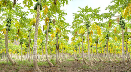 Papaya garden with trees hundreds of beautiful shape beautiful long queues. This is a fruit tree with many vitamins good for human health