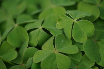 Wall Mural - Clover leaves background