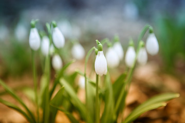 Flowering snowdrops in spring forest. (Galanthus nivalis)