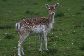 photo of an alert young female fallow deer