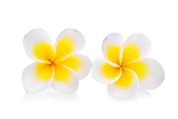 white frangipani isolated on white background