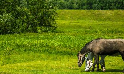 horses grazing in field in rural landscape