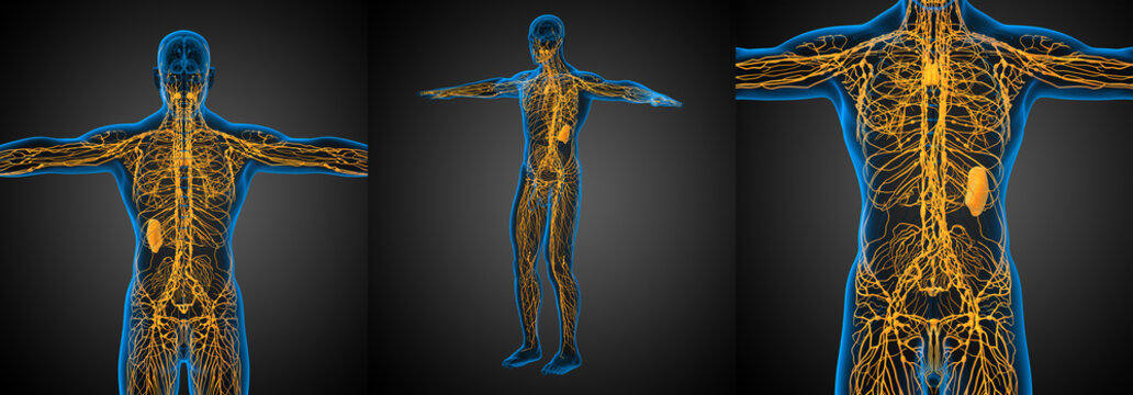 3d rendering medical illustration of the yellow lymphatic system x-ray collection