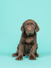 Cute brown sitting chocolate labrador puppy on a turquoise blue background