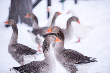 Gaggle of geese in snow