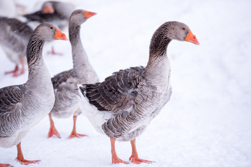 Geese on snow covered field
