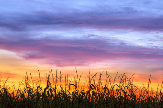 Cornfield Sunset Silhouette - Sky Over Indiana