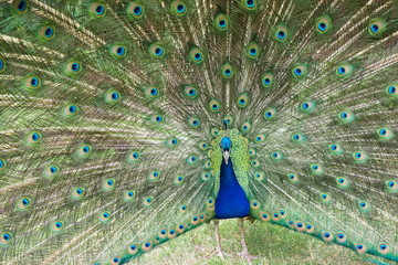 Male Peacock Displays Bright Feathers