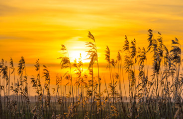 Reed along a field at sunrise in spring