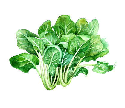 Spinach, hand dwawn watercolor illustration for menu, recipe, market poster design, isolated