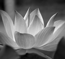 Poster Lotusbloem Closeup of lotus flower blossom