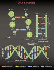DNA structure: Nucleotide, Phosphate, Sugar, and bases. DNA education vector  info graphic on black.