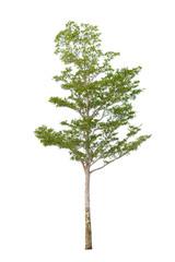 Single tree on white background isolated