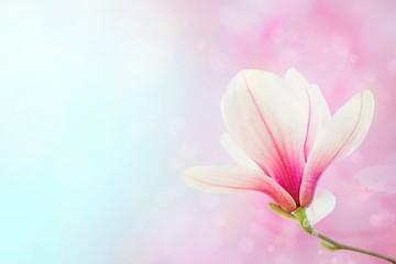 Magnolia flowers spring blossom background