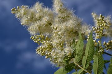 Белый пушистый цветок на фоне голубого  неба.