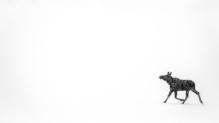 A Moose Running Across A White Snowy Landscape